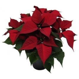 Vánoční hvězda červená vícevýhonová, Ø květináče 12-13 cm